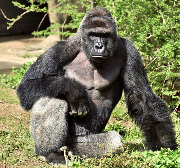 Harambe, a 17-year-old gorilla, was shot and killed by employees. (Cincinnati Zoo/Reuters)